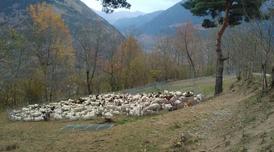 Agrupament de ramats.