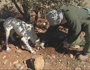 Un tofonarie amb el seu gos buscant tòfona negra silvestre