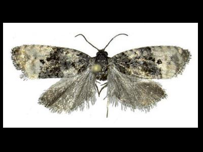 Exemplar adult de Metendothenia atropunctana