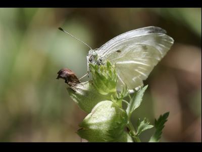 Exemplar mascle adult de Pieris ergane. Foto: Jordi Faus i Martí Franch