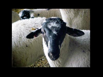 El Departament d'Agricultura reclama al Ministeri una sortida per a la carn d'oví, cabrum i boví davant la caiguda de preus i de consum