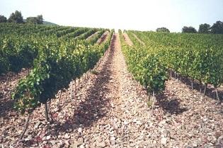Foto web vinya