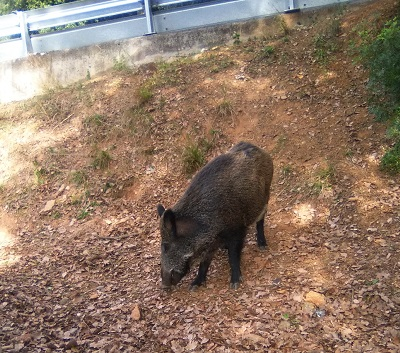 Porc senglars a Collserola