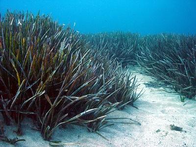 Possidònia oceànica