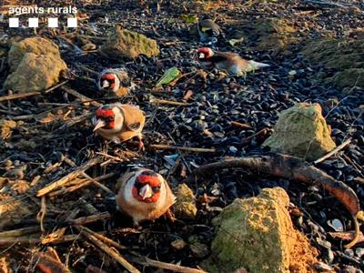 Ocells fringíl·lids capturats pels furtius