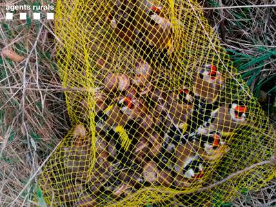 Ocells capturats pels furtius