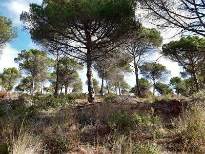 Boscos recuperats de la plaga del Tumicus al Maresme