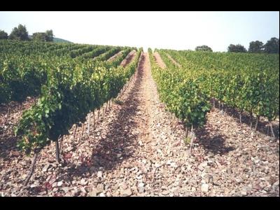 Miniatura vinya