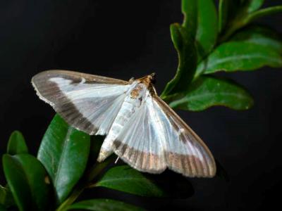 papallona del boix