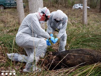 Agents prenen mostres d'un senglar