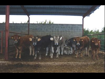 Miniatura NdP Pagament boví d'engreix