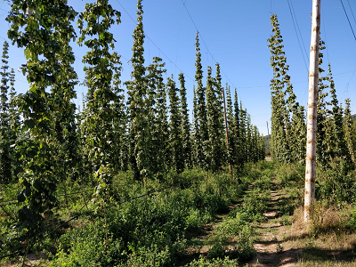 Zona de cultiu de Llúpol