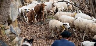 Foto web NdP Pagament final ajuts boví llet, vaques alletants, ... 2020
