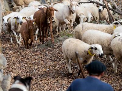 Miniatura NdP Pagament final ajuts boví llet, vaques alletants, ... 2020
