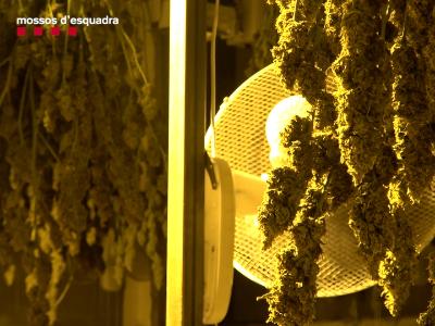 Els Mossos d'Esquadra desmantellen una organització criminal xinesa que introduïa il·legalment compatriotes i els obligaven a cultivar marihuana industrialment