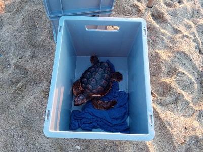Una de les 24 tortugues nascudes a la platja de la Mar Bella de Barcelona l'agost de l'any passat