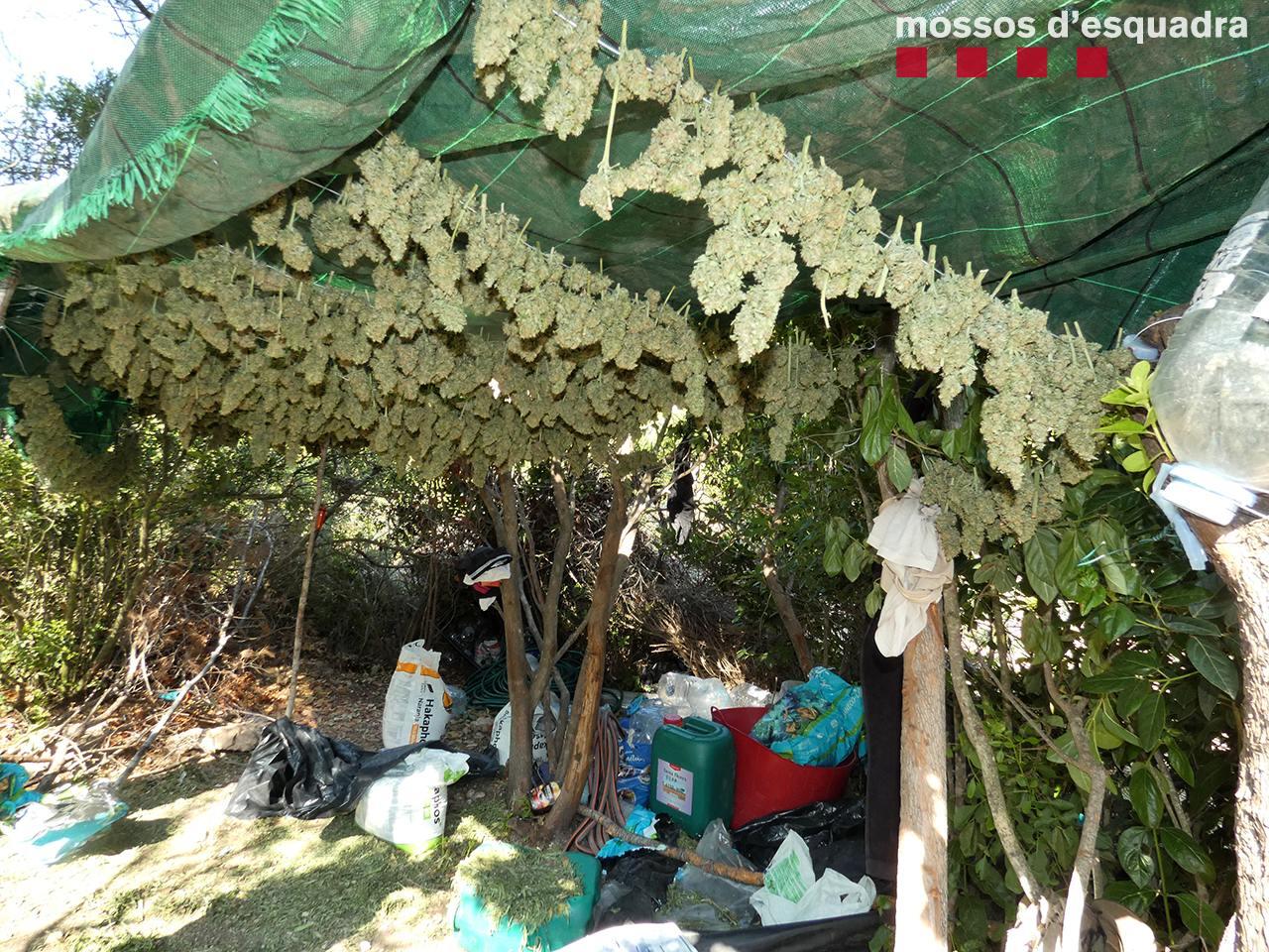 Assecador de marihuana a Ulldemolins