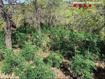 Plantació marihuana Cabacés