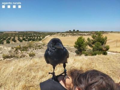 Un dels corbs que volaven sense l'autorització.